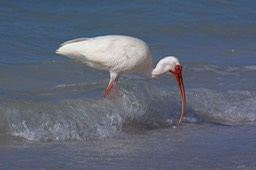 Sanibel Wildlife-022