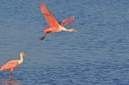 Sanibel Wildlife-038