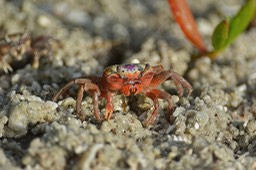 Sanibel Wildlife-055 Fiddlers Crab